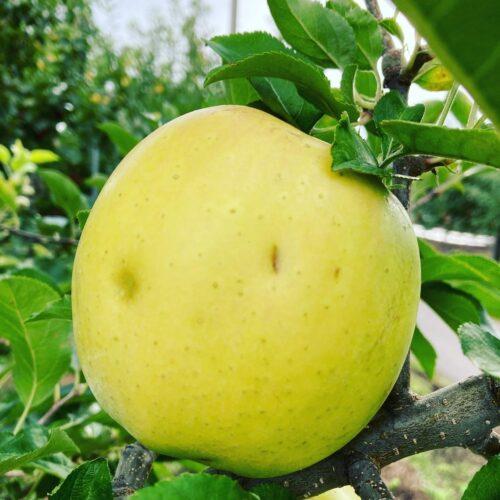 ひょう被害りんご