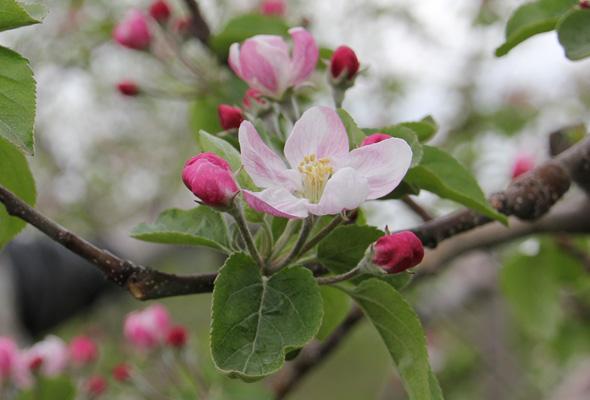 岩木山の麓で、りんごの花が咲きました。