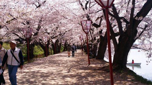 sakura1604_nishibori