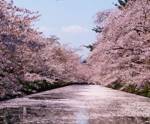 sakura1604_sotobori001